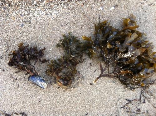 Olika stora tångplantor som spolats upp på stranden med tillbehör