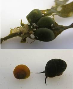 Littorina fabalis (gul) och Littorina obtusata (mörk) under en äggsamling på blåstång.