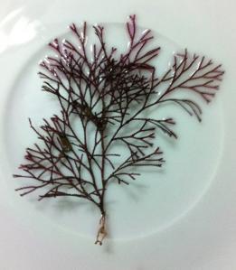 Hydroid med symbiontisk rödalg