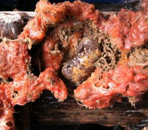 Krabba i svampdjur