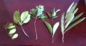 Mangrove, okänd, Rhizophora, Avicennia, okänd, ormbunke