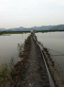 Mangrove plantering