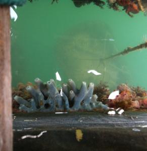 svampdjur, blå o röda