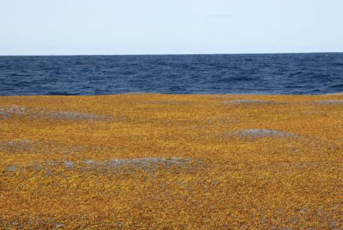Sargassohavetfoto