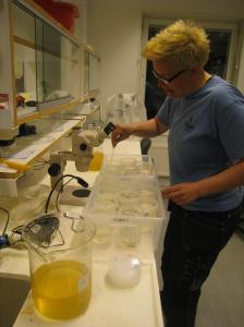 En blandning av ägg och spermier hälls i burkar med speciella settlings-diskar i botten. På dessa kan de små befruktade tång-äggen fästa sig och börja växa.