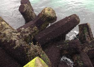 6 Mastocarpus på piren