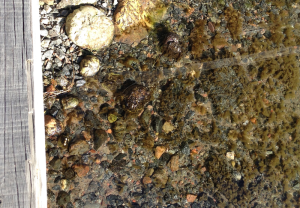 5Brygghörnet stenar med Pylaiella