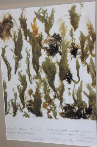 Cladophora rupestris ca 6 m