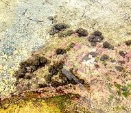 4 alger bruna