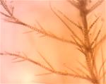 4pylaiella-uniloklula%cc%88ra-sporangier