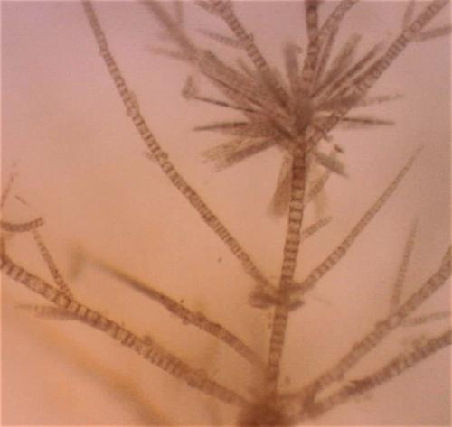 5pyllaiella-med-kiselalger