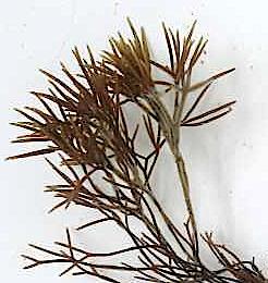 1Furcellaria planta med toppar