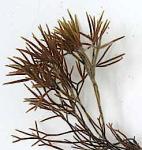 1Furcellaria planta medtoppar