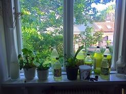 5algodling i fönstret