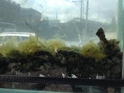 5Stenar med alger