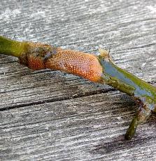 Det orangea mossdjuret Cryptosula växer här på en bit knöltång.