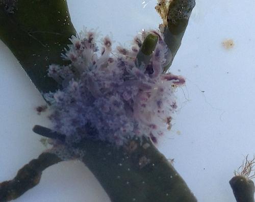8Hydroid Clava multicornis kopia