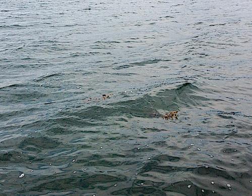 drivande tång till havs