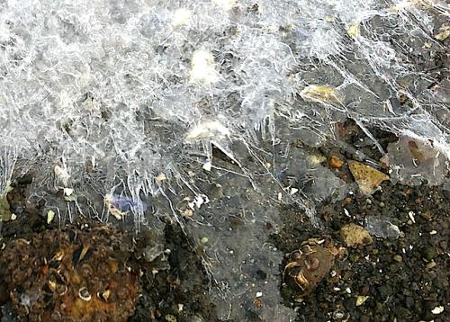 ostron vid iskant