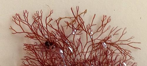 3Ceramium tenuicorne randig klotoppar