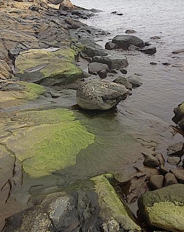 vårgrönt i strandzonen