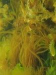 Halosiphon tomentosus
