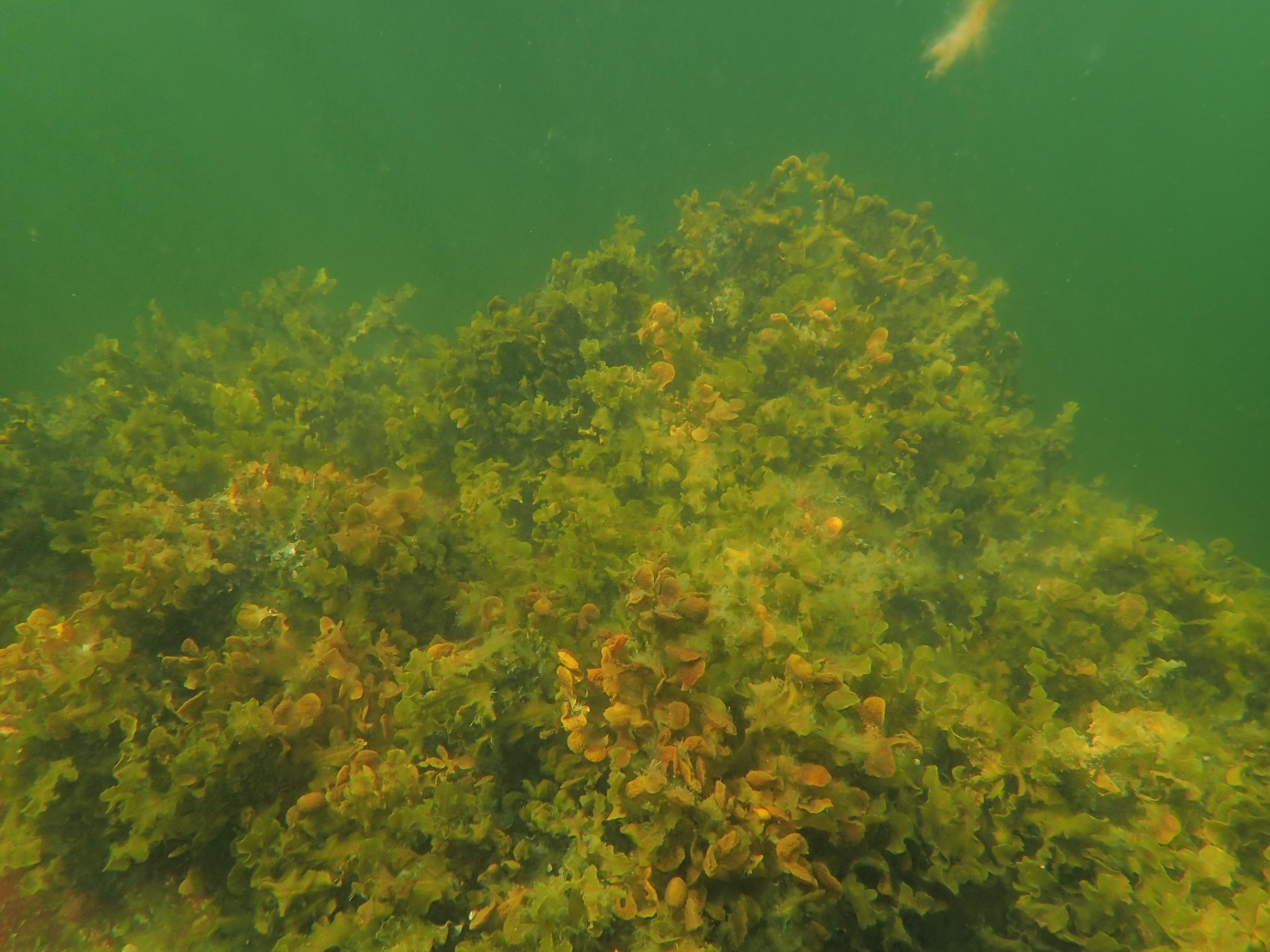 Varldens storsta alg ny turistattraktion
