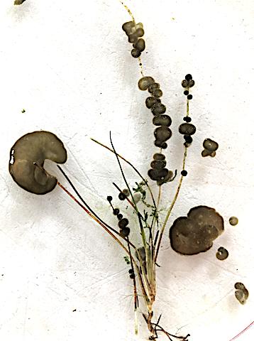 1 Rivularia biasolettiana o Gloeotrichia natans?
