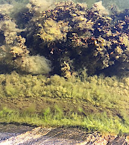 3 ny grönslick + överväxt blåstång, insidan Björkholmen 20180818