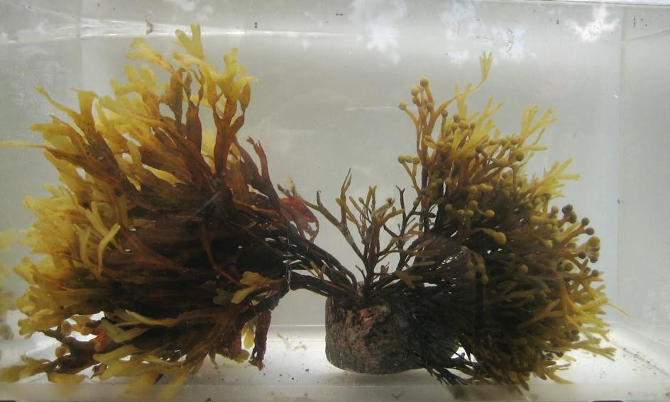 Två arter tång Foto: Nils Kautsky