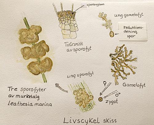 3 Livscykel Leathesia marina