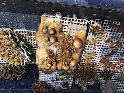 6 Korall odling