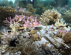 7 Coral cultivation Eilat