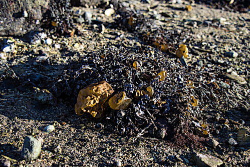 1 Colpomenia Tjurpannans naturreservat Grebbestad