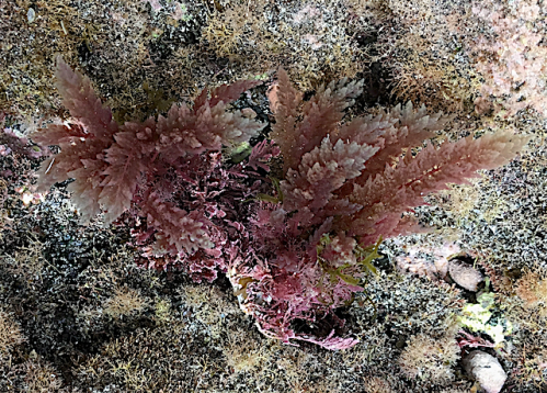 2 .Asparagopsis taxiformis red algae