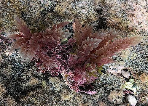 2 .Asparagopsis taxiformis red algae