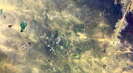 2 cyanobakterier i Silléns vik aug2018
