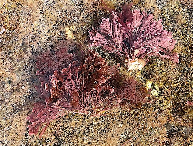 3 Jania :Corallina Tenefriffa 2018