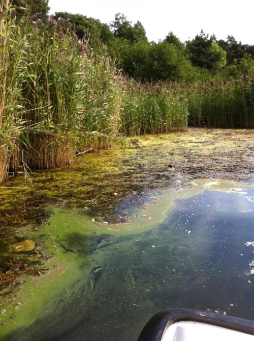 4 vass, drivande alger, tång o cyanobakterier (kopia)