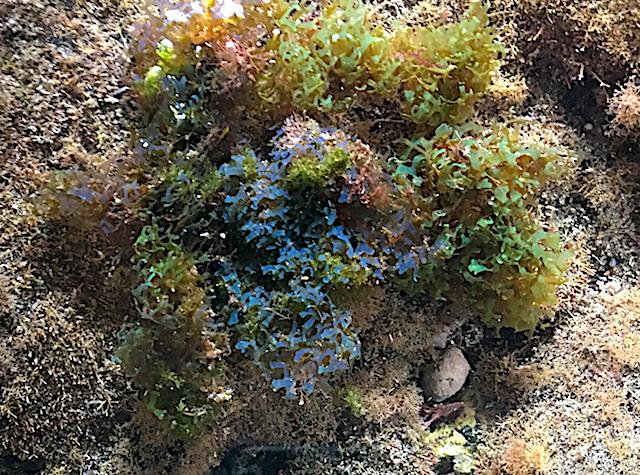 5 Dictyota sp iridiserar blått o grönt