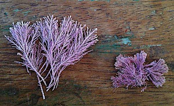 Corallina och Jania , Teneriffa 2018