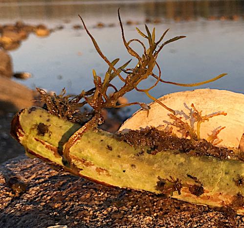 1 knivmussla med sargassum årsskottet