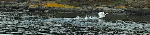 8 svanen startbanan