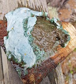 cyanofärgad, Lisö
