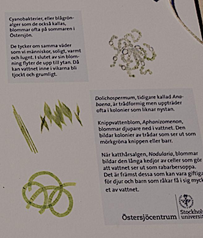 vanliga cyanobakterier i Östersjön