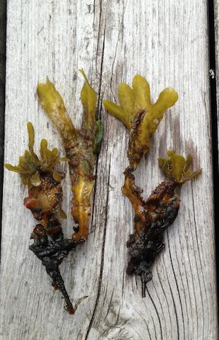 Unga tångplantor, med häxkvastar (kopia)