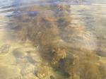 Bild 1 Fina tångplantor underDichtyosiphon