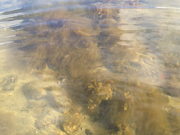 Bild 1 Fina tångplantor under Dichtyosiphon