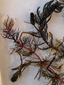 Myriophyllum övervintring