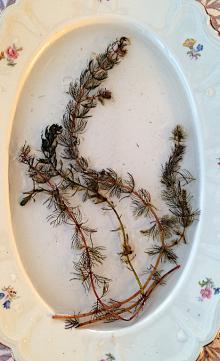 Myriophyllum spicatum 20191120